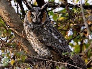 Long Eared Owl Pictures