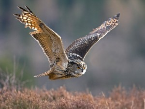 Long Eared Owl in Flight