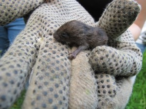 Meadow Vole Baby