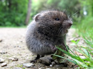 Meadow Vole Images