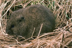 Meadow Vole Pictures
