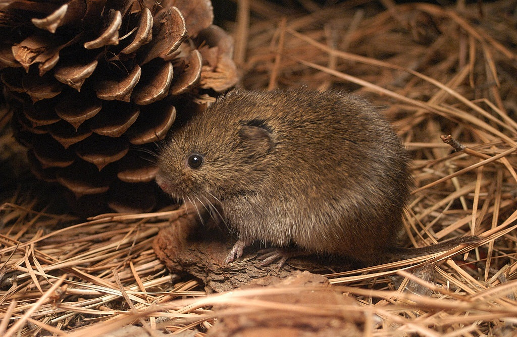 Meadow Vole | Coniferous Forest