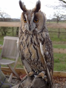 Pictures of Long Eared Owl