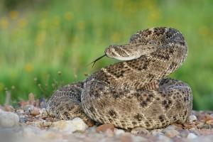 Western Diamond Rattlesnake Images