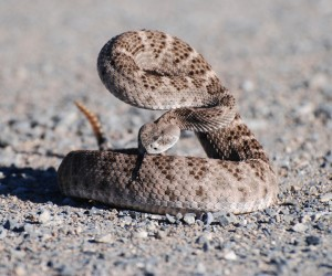 Western Diamondback Rattlesnake Photos