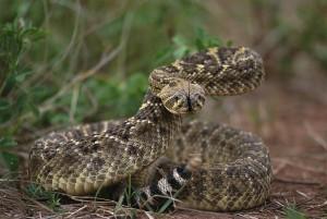 Western Diamondback Rattlesnake Pictures