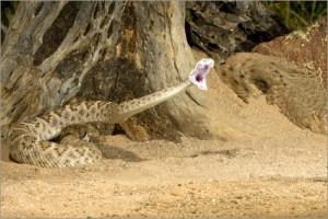 Western Diamondback Rattlesnake Striking