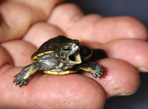 Western Pond Turtle Baby