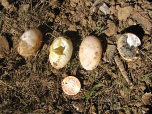 Western Pond Turtle Eggs