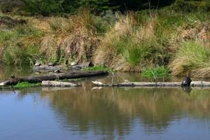 Western Pond Turtle Habitat