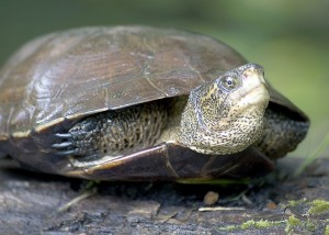 Western Pond Turtle Images