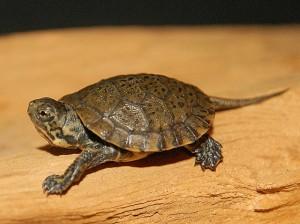 Western Pond Turtle Photos