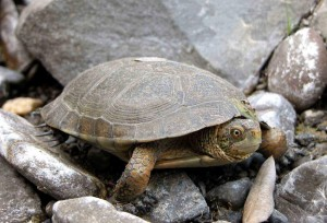 Western Pond Turtle Pictures