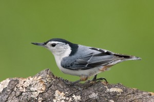 White Breasted Nuthatch Bird