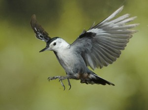 White Breasted Nuthatch Flying