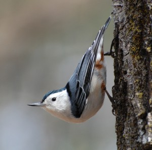 White Breasted Nuthatch Images
