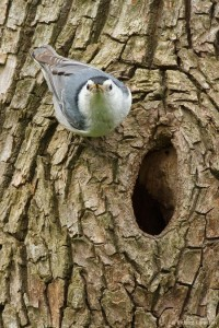 White Breasted Nuthatch Nest