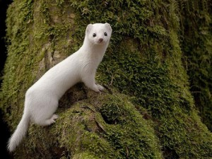 White Least Weasel