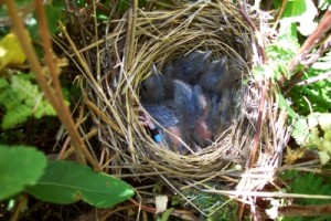 White Throated Sparrow Babies