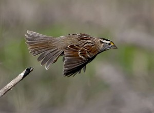 White Throated Sparrow Flying