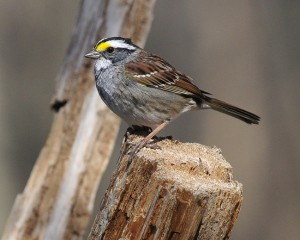 White Throated Sparrow Images