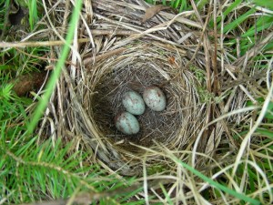 White Throated Sparrow Nest