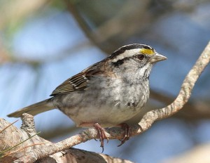 White Throated Sparrow Photo