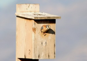 American Kestrel Nest Box