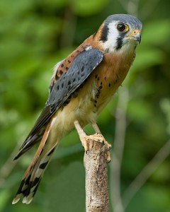American Kestrel Pictures