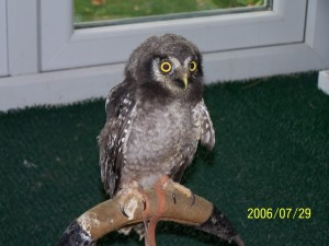 Baby Hawk Owl