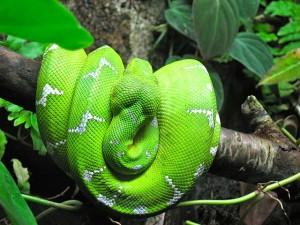 Emerald Tree Boa Pictures