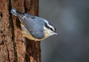 Female Red Breasted Nuthatch