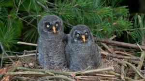 Great Grey Owl Baby
