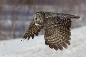 Great Grey Owl Flying