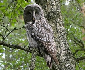 Great Grey Owl Images