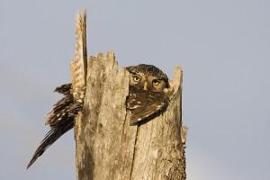 Hawk Owl Nest