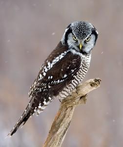 Hawk Owl Photos