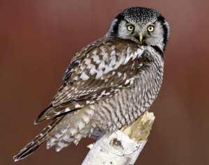 Hawk Owl Pictures
