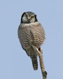 Hawk Owls