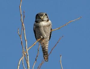 Nothern Hawk Owl