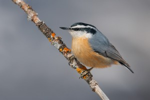 Red Breasted Nuthatch Bird