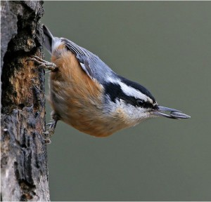 Red Breasted Nuthatch Pictures