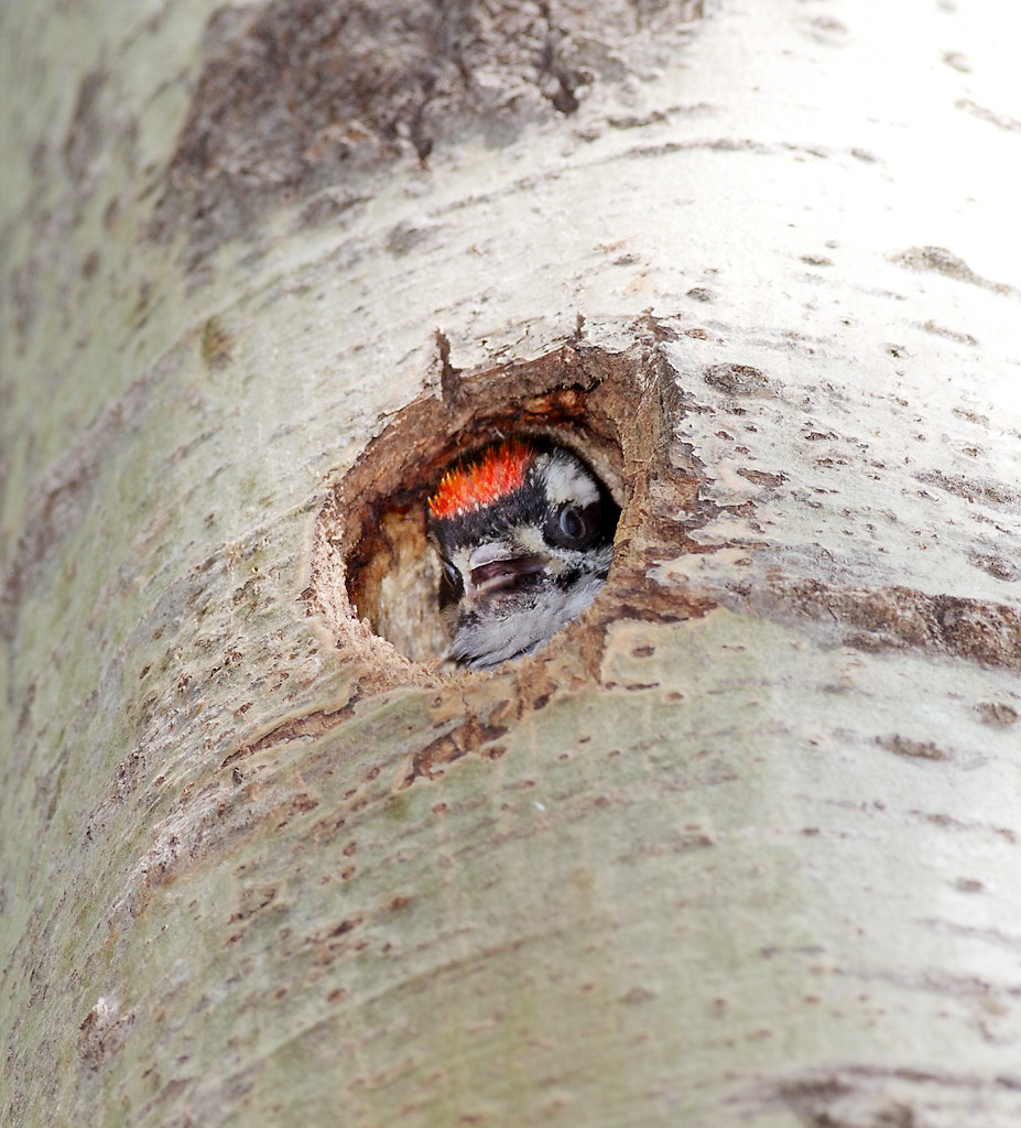 Baby Woodpecker Food