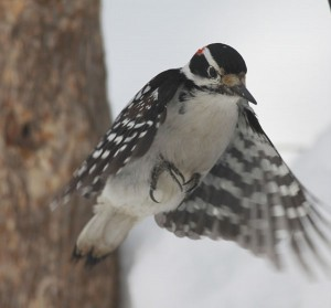 Hairy Woodpecker Flying
