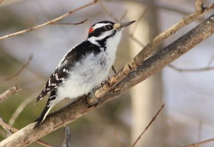 Hairy Woodpecker Photos