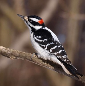 Hairy Woodpecker Pictures