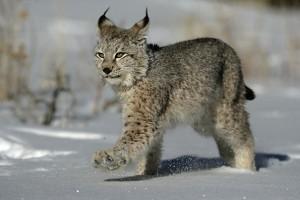 Baby Eurasian Lynx
