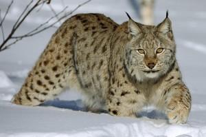 Eurasian Lynx Cat