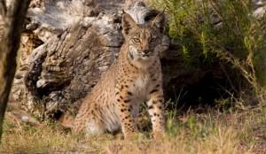 Eurasian Lynx Habitat