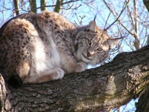 Eurasian Lynx Images